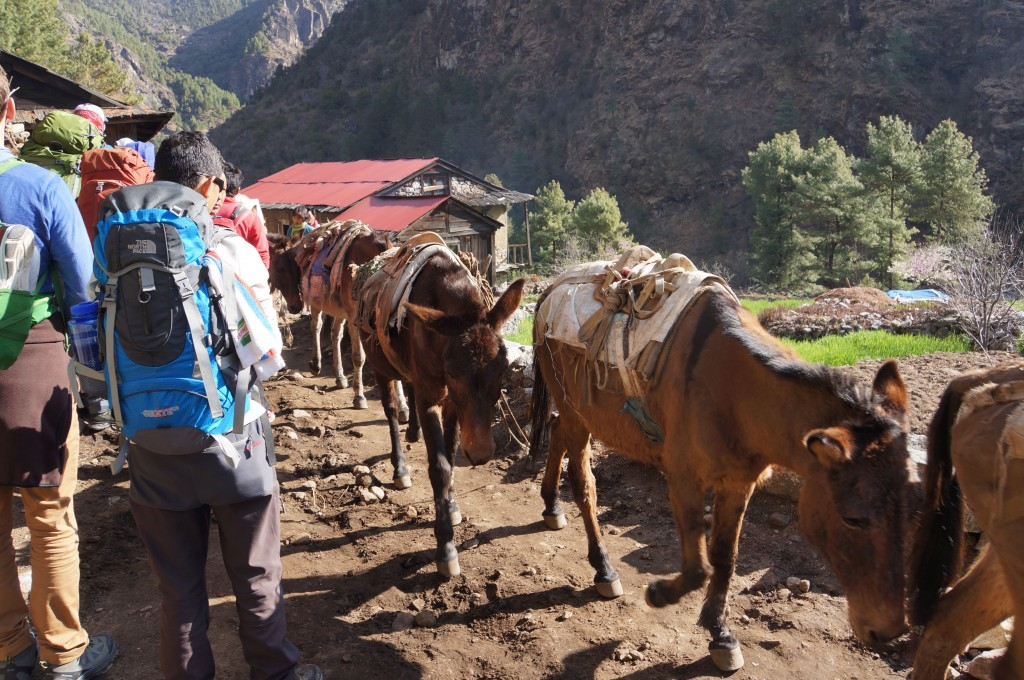 Horses are used often to haul loads in the Khumbu.