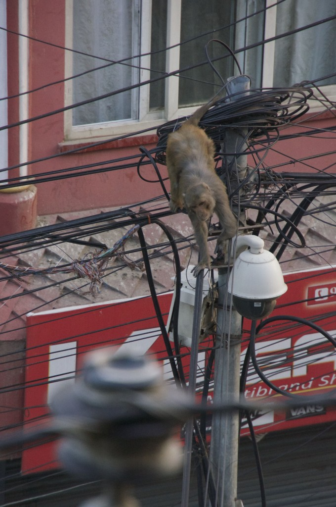 This guy is avoiding a pack of dogs on the street below... seems immune to high voltage.