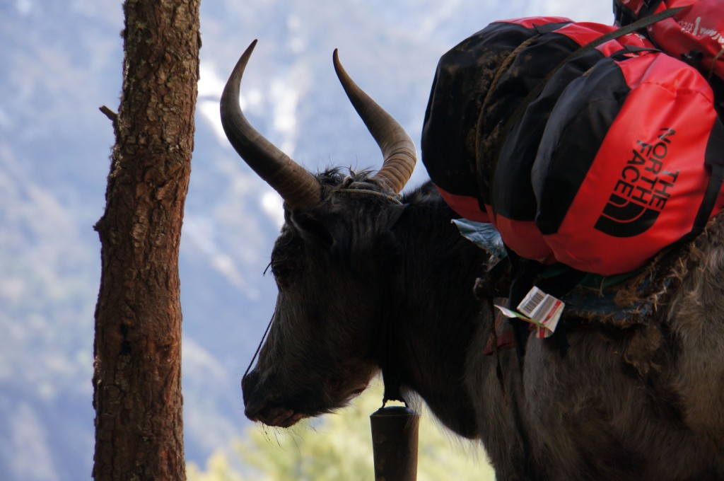 This Yak should get royalties from The North Face.