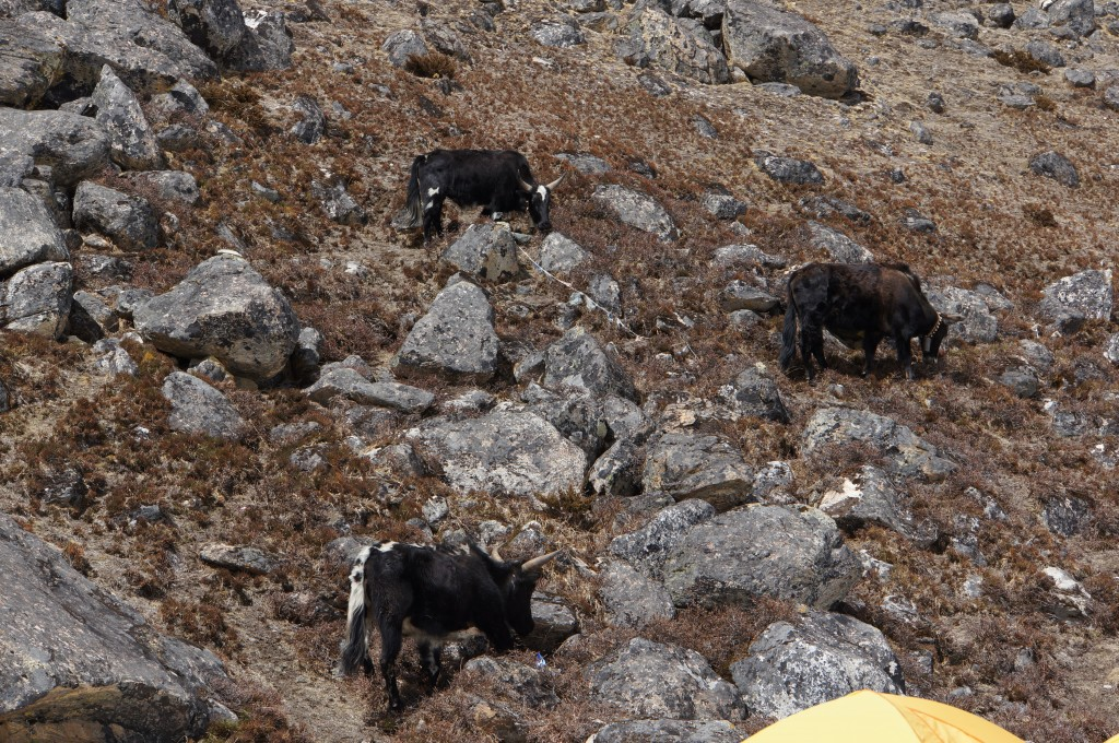 Yaks grazing on the slopes above LBC.
