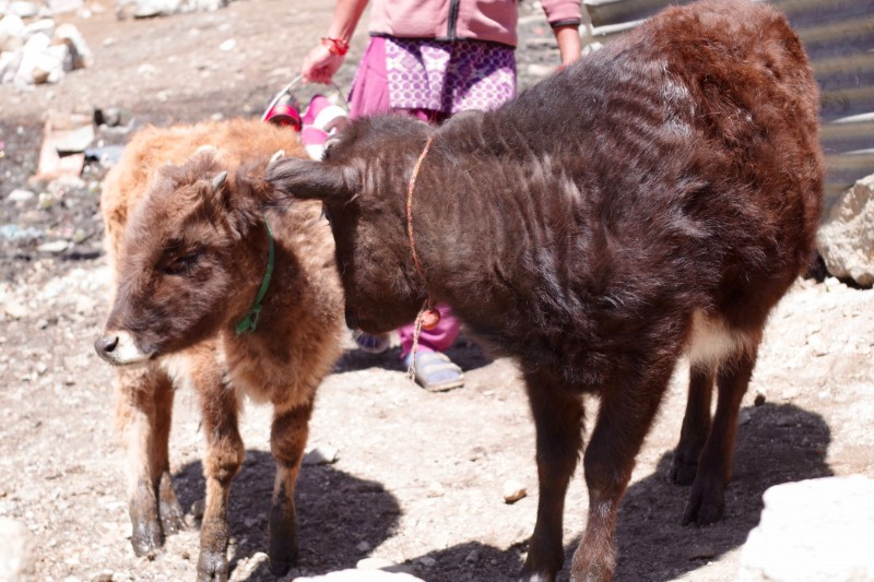 Animals are raised in and around the town of Namche. (Photo: Kim Hess)