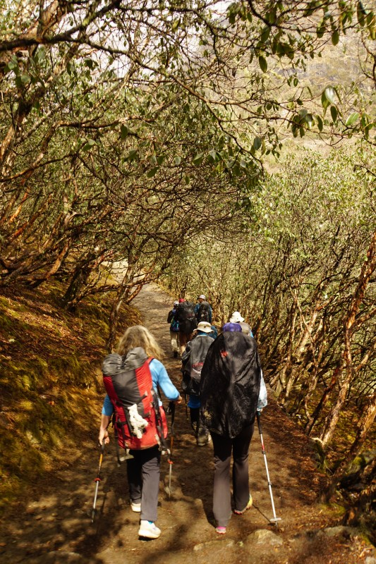 The trail winds gradually downwards through rhododendron forests.