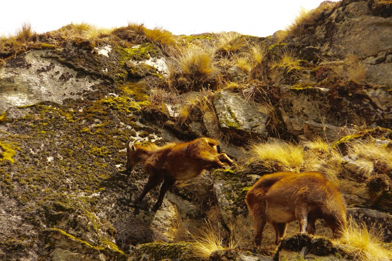 This Tahr stems out like a pro to eat moss... exposure over 50 feet. Nice.