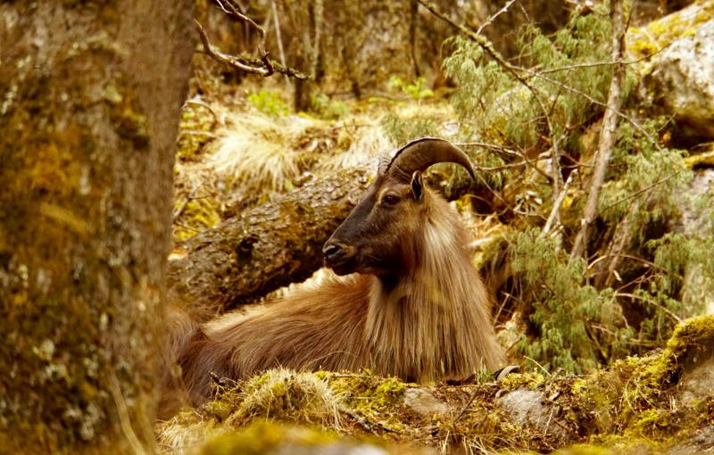 This Tahr looks like something from Middle Earth.