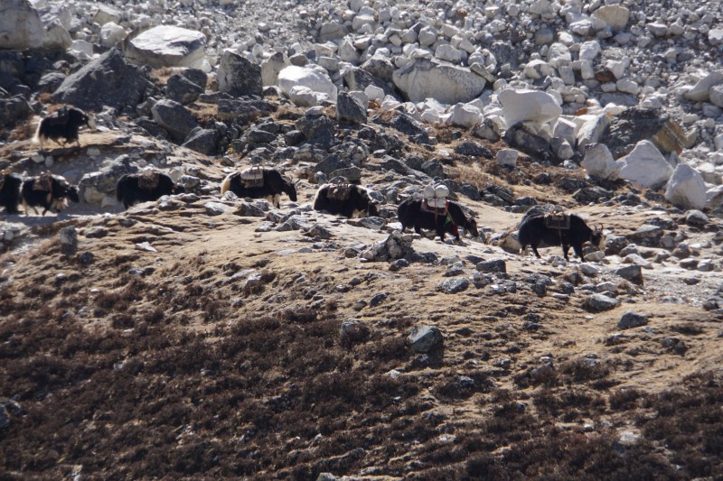 Yaks make progress towards Thokla.  Last year, the same shot framed the yaks in snow.