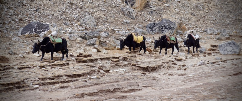 Yaks on the move down the Khumbu.
