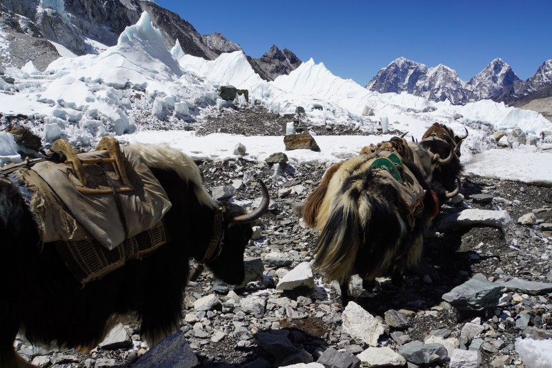 Yaks headed down-valley.