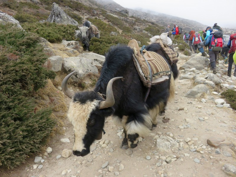 Yak on the move. (Photo: Teresa Hagerty)